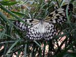 butterflyBranson MO