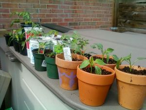 Things That Grow at My Palace of Peace: tomatoes, peppers, chives Photo courtesy of Shay Seaborne