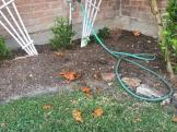 messy-pumpkin-yard-1