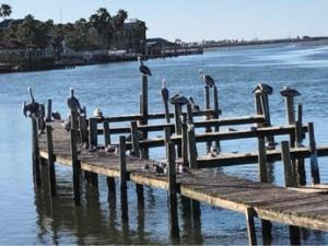 pelicans - bay side